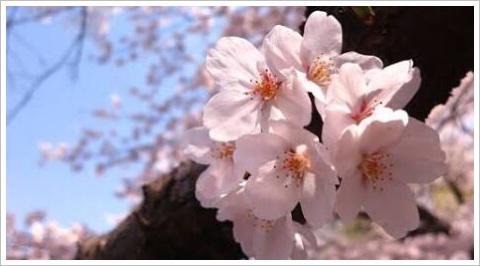 セブンイレブンに桜もち2017が!小さいのにカロリーが?口コミも5